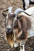 foto of billy goat  - A cute bearded goat staring at camera - JPG
