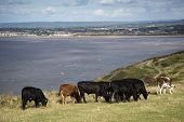 stock photo of sea cow  - Landscape image of cows with Weston - JPG