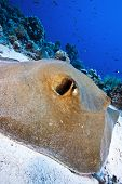 foto of sting  - big feather tail sting ray resting on the sand - JPG