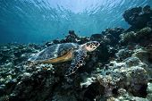 picture of endangered species  - hawksbill turtle - JPG