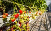 stock photo of hydroponics  - Ripening of strawberries from hydroponically cultivated plants at a convenient picking height in a specialized Dutch greenhouse horticulture business - JPG