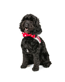 foto of cockapoo  - Picture of a Black Cockapoo sittingon a white background - JPG