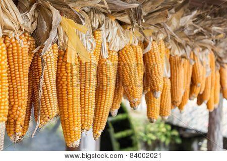 Row Of Hanging Dry Corn Cob.
