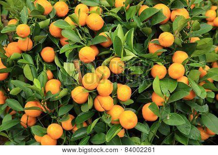citrus fruits grow on tree