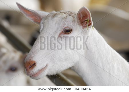 Dairy Goat