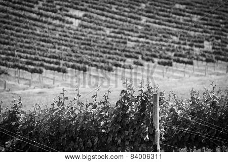 Grape Vines Black And White
