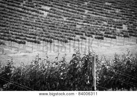 Grape Vines Black And White