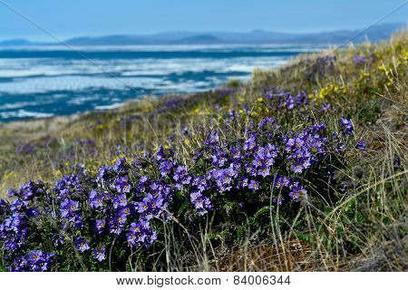 Flowers Cyanosis (polemonium Racemosum) On The Background Of The Arctic Ocean.