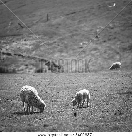 Grazing Sheep Black And White