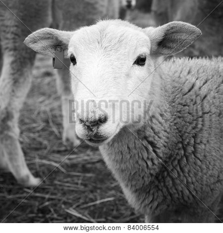 Lamb Black And White