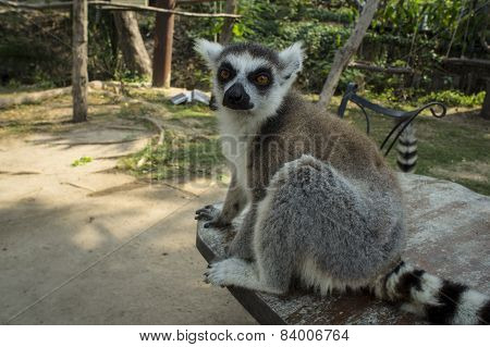 lemur white black brown madagaskar concept
