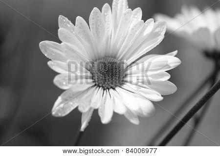 Black and white Shasta Daisy