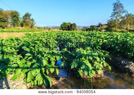 Potato field on blue sky landscape.
