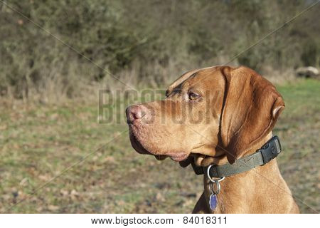 Magyar Viszla head portrait, detail, autumn Time, dog eyes,