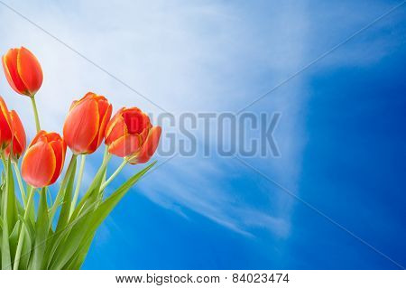 Bouquet Of Tulips On The Blue Sky Background With Copy Space Free Text Or Your Text Here