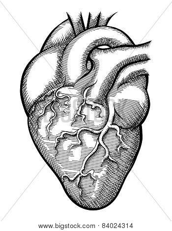 Vector human heart