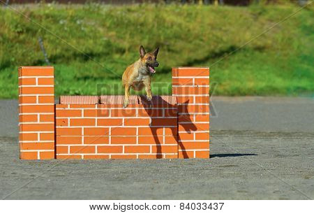 Belgian Stepherd In Agility