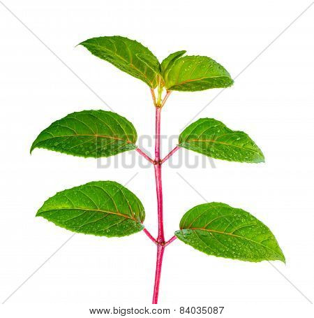 Green Branch Of Seedling Fuchsia With Drops Is Isolated On White Background, Closeup