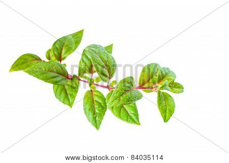 Green Twig Of Sapling Fuchsia With Dew Is Isolated On White Background, Closeup