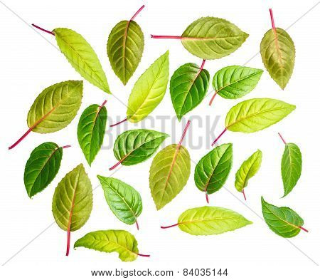 Green Leaves Of Fuchsia Is Isolated On White Background, Closeup