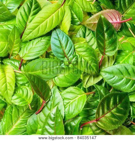Beautiful Green Leaves Of Fuchsia As Background, Closeup
