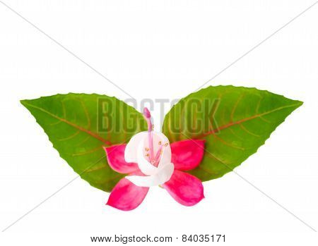 Fuchsia Flower With Leaves Is Isolated On White Background