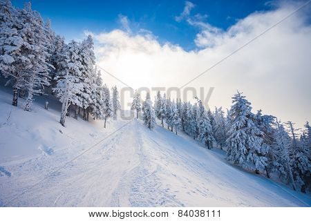 Ski Forest Path With Pine Trees Covered In Snow