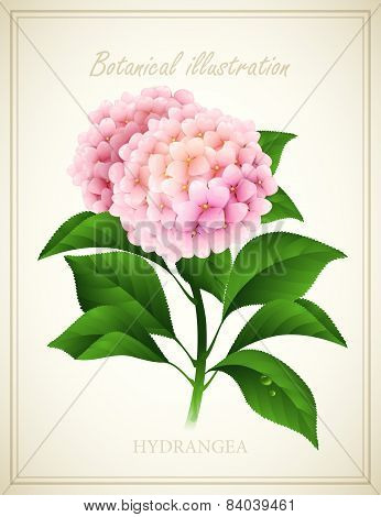 Hydrangea. Botanical Vector illustration