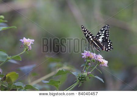 Papilio Demoleus (chequered swallowtail) butterfly
