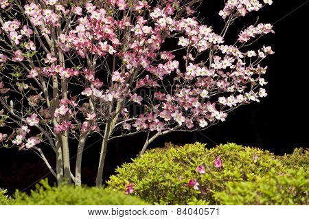 Dogwood Tree  Against Black Background