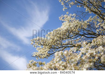 Dogwood Blossoms Against Blue Sky Background