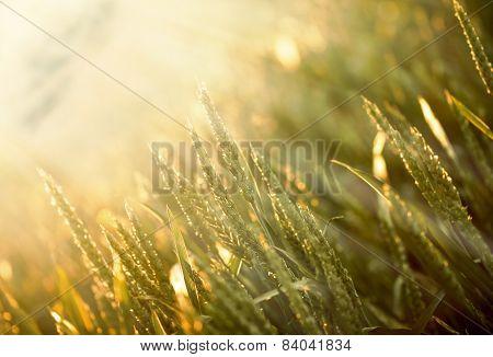 Wheat field early in morning