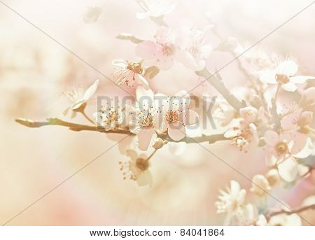 Blooming fruit tree - soft focus