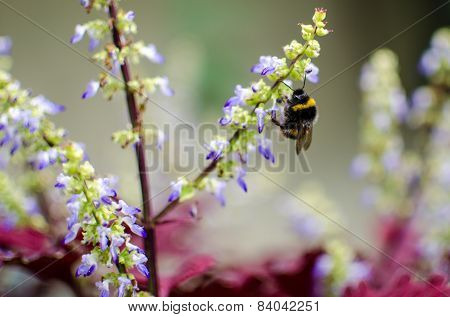 Bumble Bee On Blue Flowers