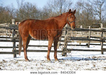 .warm Blood Horse Standing In Winter Corral Rural Scene