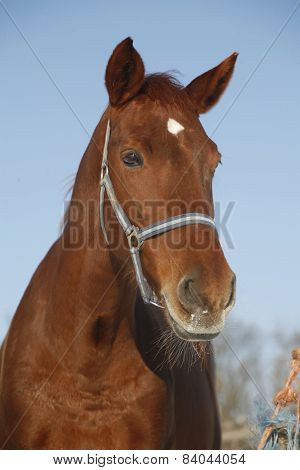 Close-up Of A Bay Horse In Winter Corral