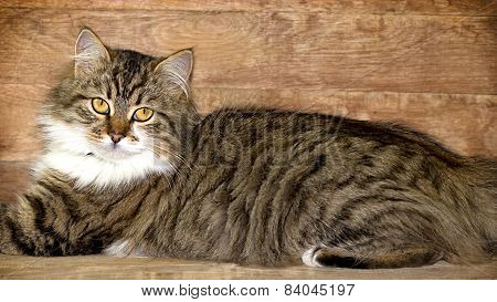 Cat - Maine Coon (main coon)