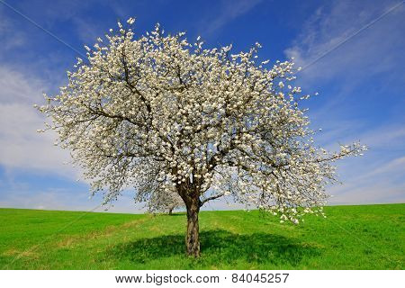 Blooming cherry tree
