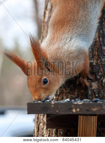 Eurasian red squirrel gnaws sunflower seeds