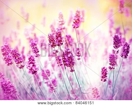Soft focus on lavender illuminated by sunlight