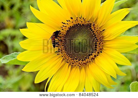 The Bee Collects Honey On A Bright Yellow Flower Of A Sunflower