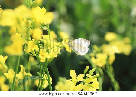 Rape flowers and butterfly