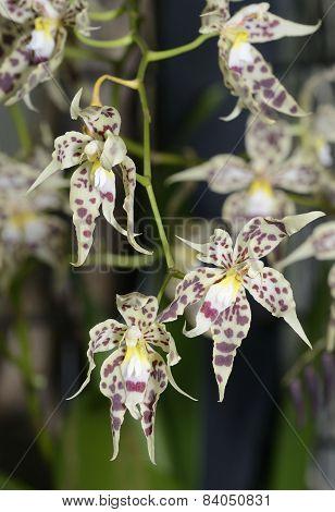 Glorious Odontoglossum Orchid