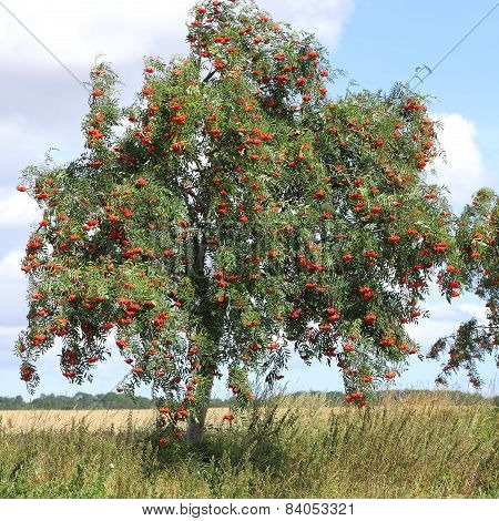 Rowan With Ripe Berries, Sorbus Aucuparia