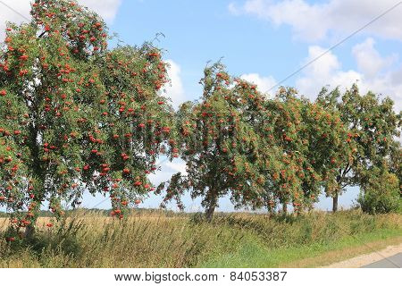 European Rowan At A Country Road