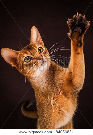 Ruddy abyssinian cat on black brown background pulls paw
