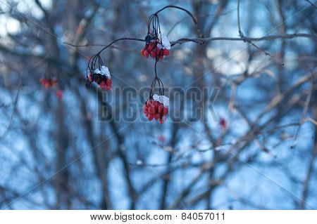 Red Rowan Berries Covered With Snow