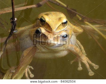 Mating frog
