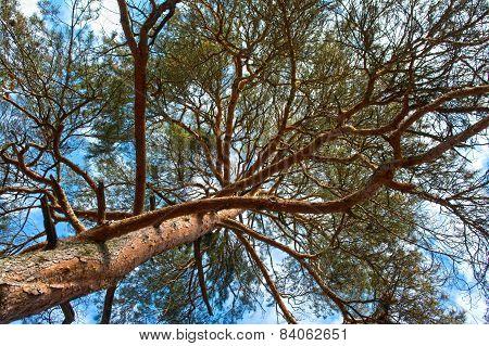 Scots Pine Tree Canopy