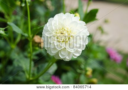 One Lovely White Dahlia